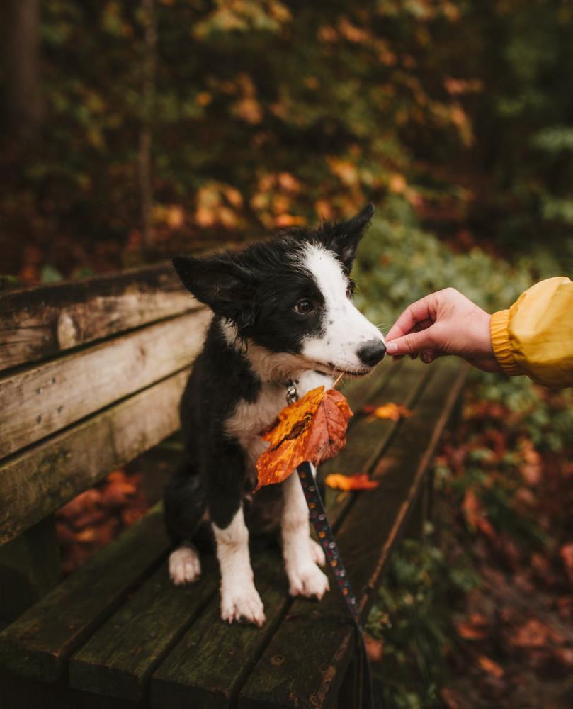 Hund som håller i ett löv