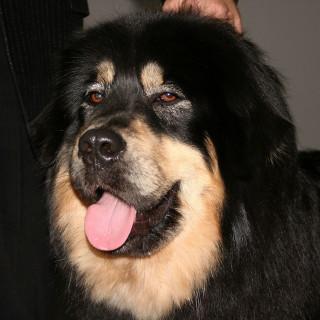 Tibetansk mastiff