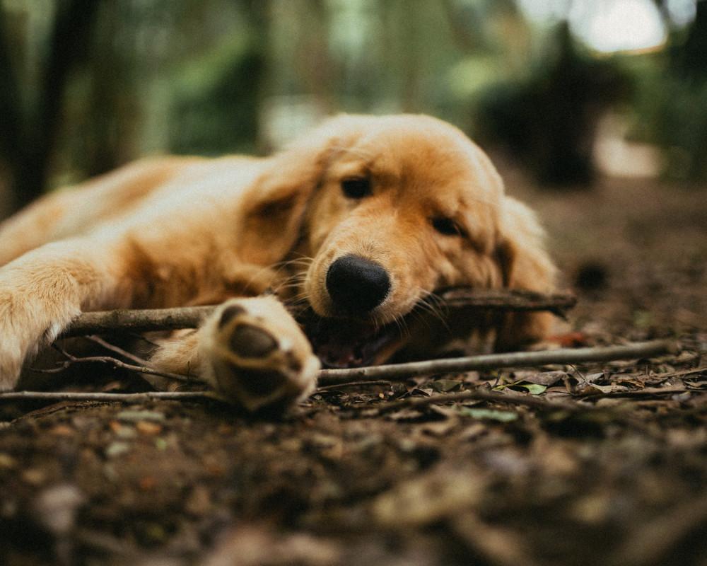 träna vuxen hund att vara ensam