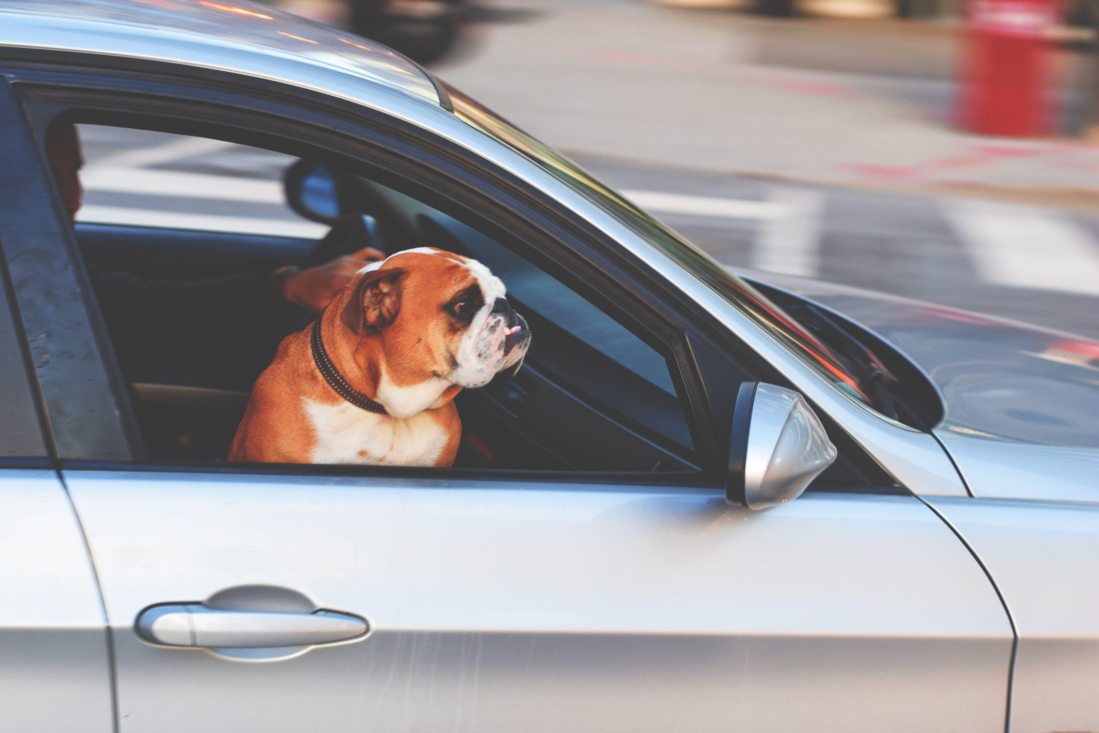 Hund i bil